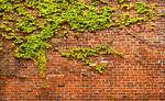 Brick Wall with Ivy Panorama