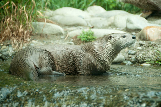 River Otter Laying in Water