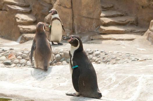 Humboldt Penguin Standing