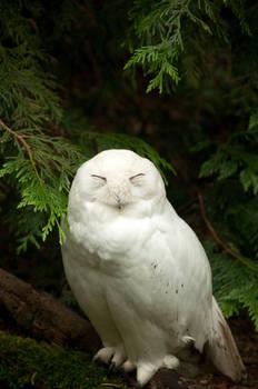 Snowy Owl Standing
