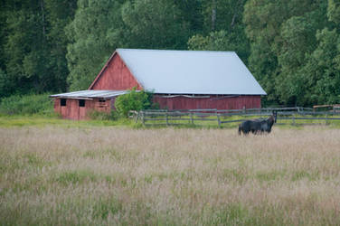 Horse in a Field with Barn in Background
