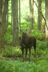 Young Female Moose Standing in Forest