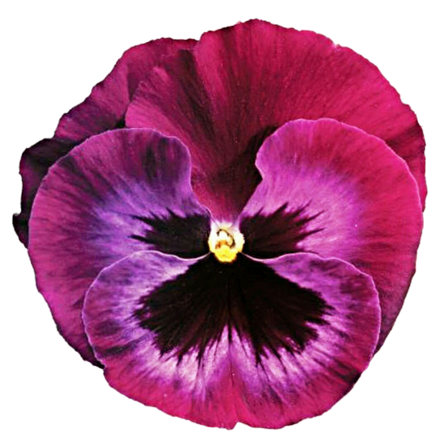 Pretty in pink pansy by jeanicebartzen27 on deviantart pretty in pink pansy by jeanicebartzen27 mightylinksfo
