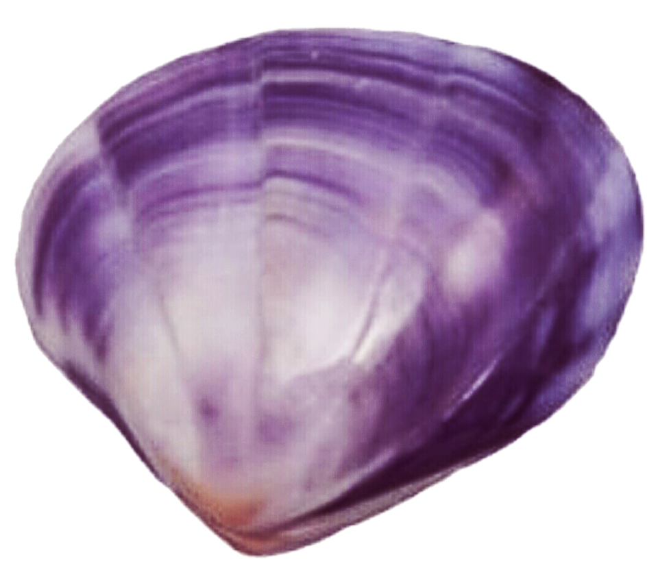 Purple Clam Shell by jeanicebartzen27 on DeviantArt