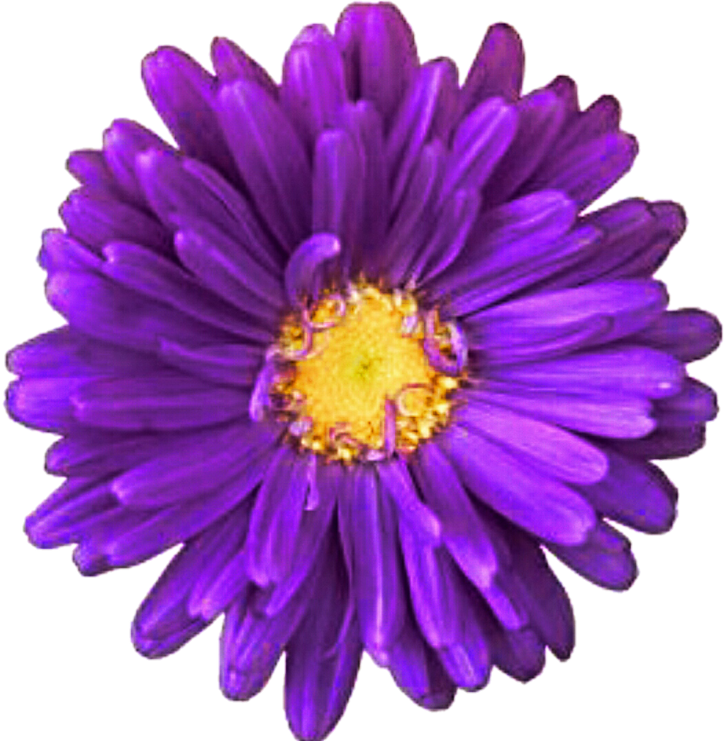 Purple Daisy Flower: Purple Daisy By Jeanicebartzen27 On DeviantArt