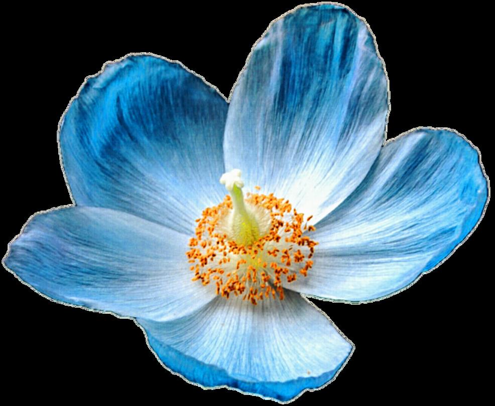 Iceland Blue Poppy By Jeanicebartzen27 On Deviantart