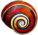 Red Snail Shell
