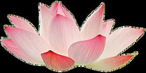 Light Pink Lotus
