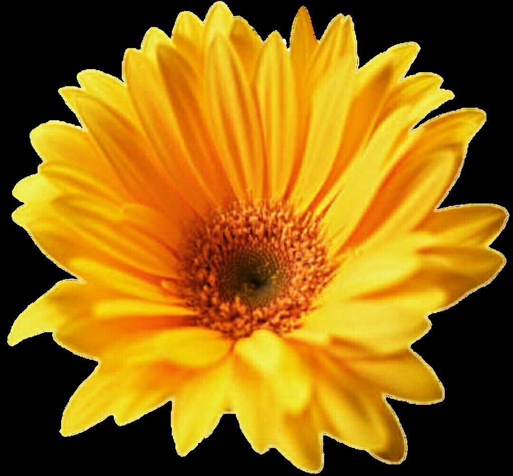 Yellow Daisy Png Yellow Gerbera Daisy b...
