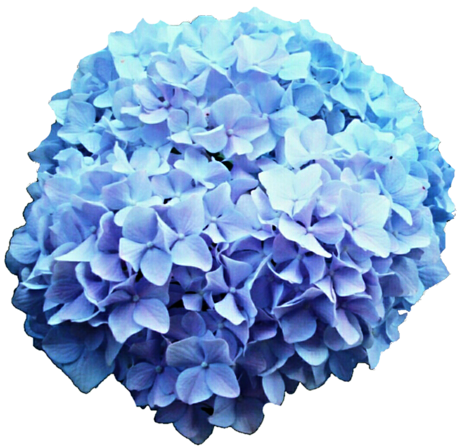 Blue and purple hydrangea by jeanicebartzen27 on deviantart blue and purple hydrangea by jeanicebartzen27 izmirmasajfo Image collections