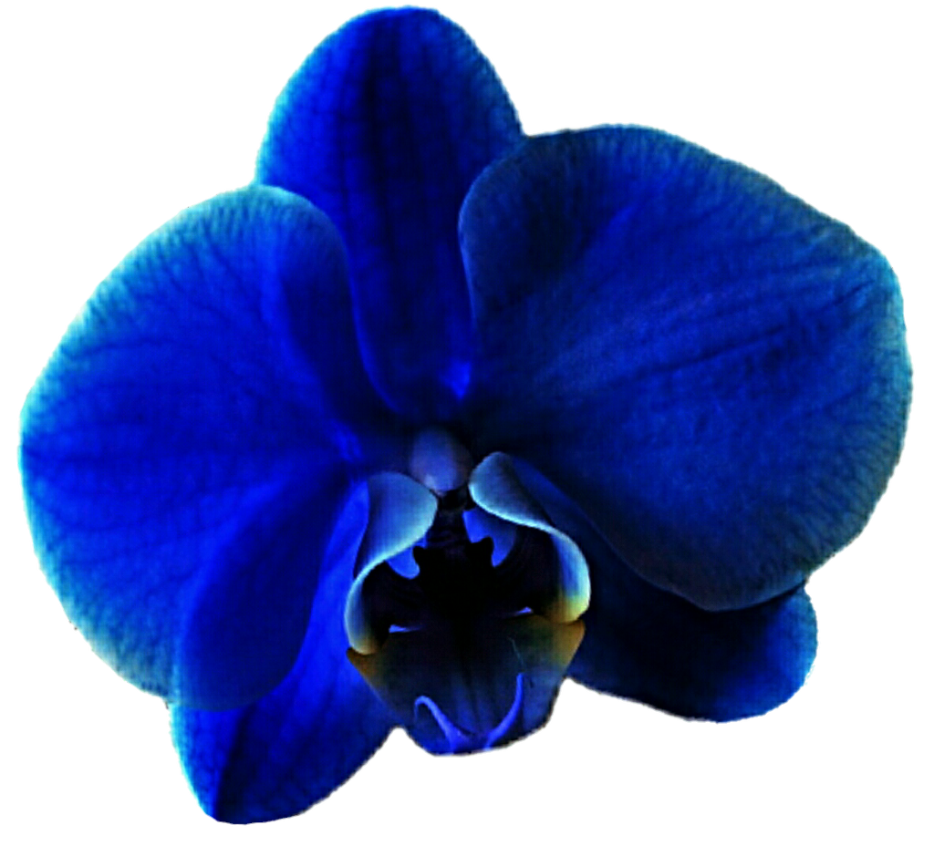 Blue Orchid Clipart