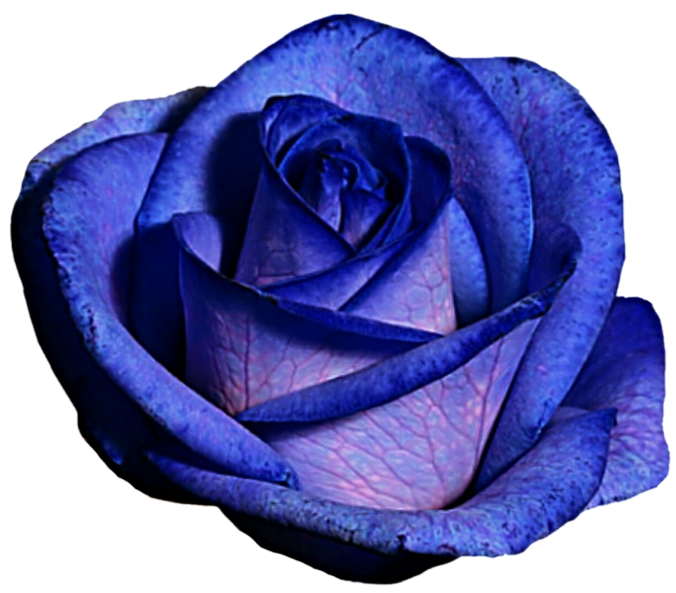 Blue and purple rose by jeanicebartzen27 on deviantart blue and purple rose by jeanicebartzen27 izmirmasajfo