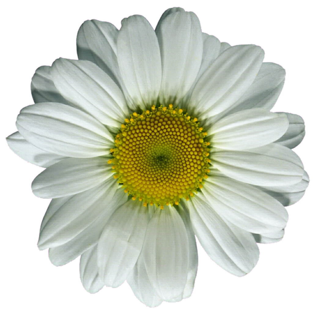 Yellow Daisy Png Yellow Gerber Daisy Cl...