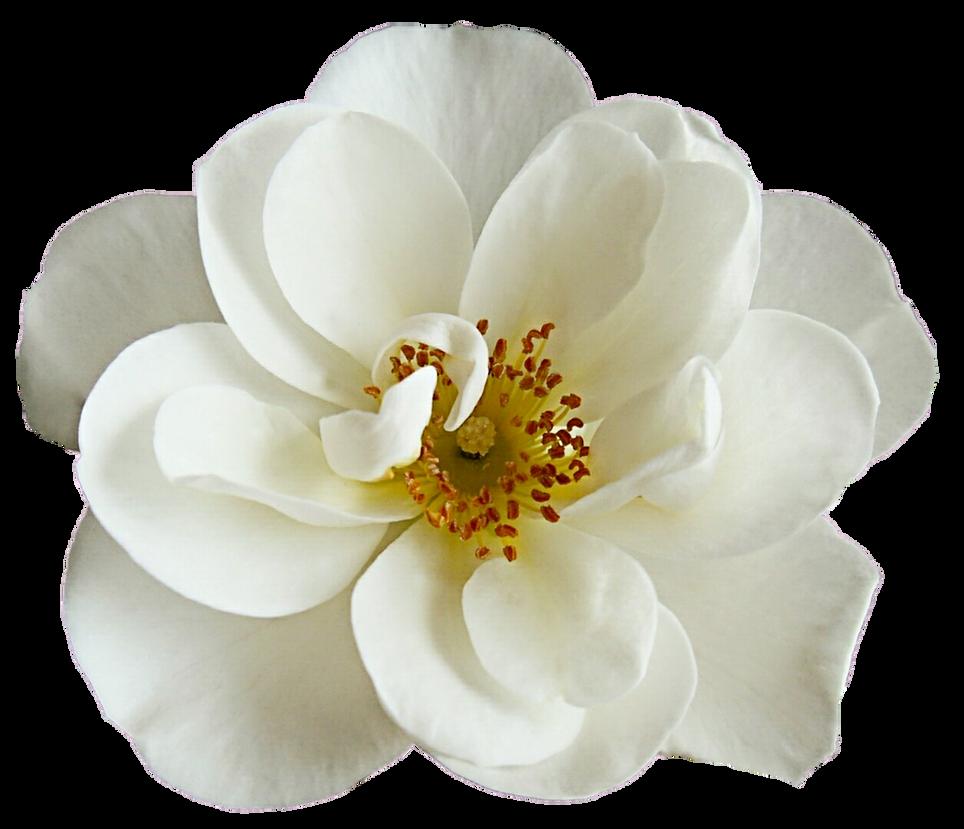White Dogwood Rose By Jeanicebartzen27 On Deviantart