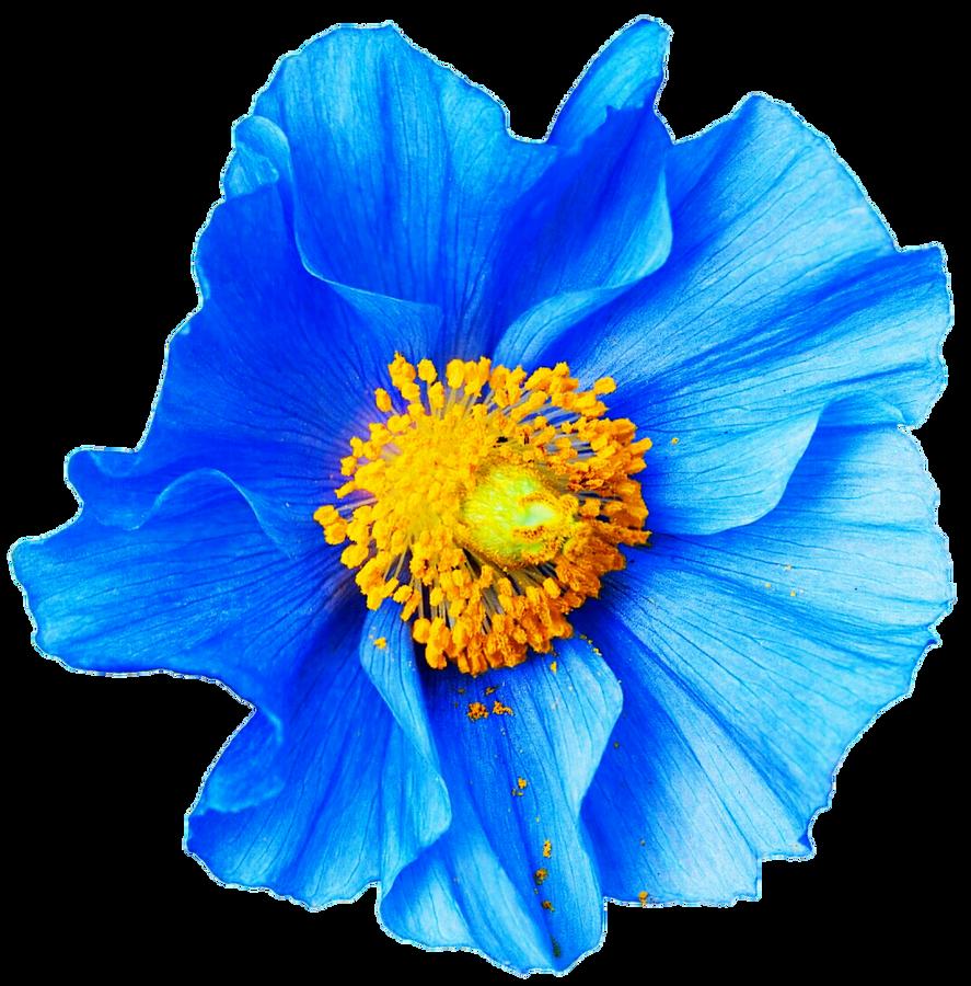 Blue Poppy Flower Painting