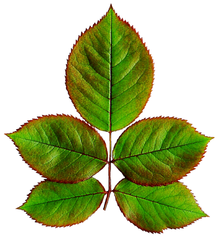leaf leat Synonyms for leaflet at thesauruscom with free online thesaurus, antonyms, and definitions find descriptive alternatives for leaflet.