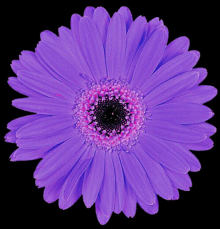light purple gerbera by jeanicebartzen27 on deviantart
