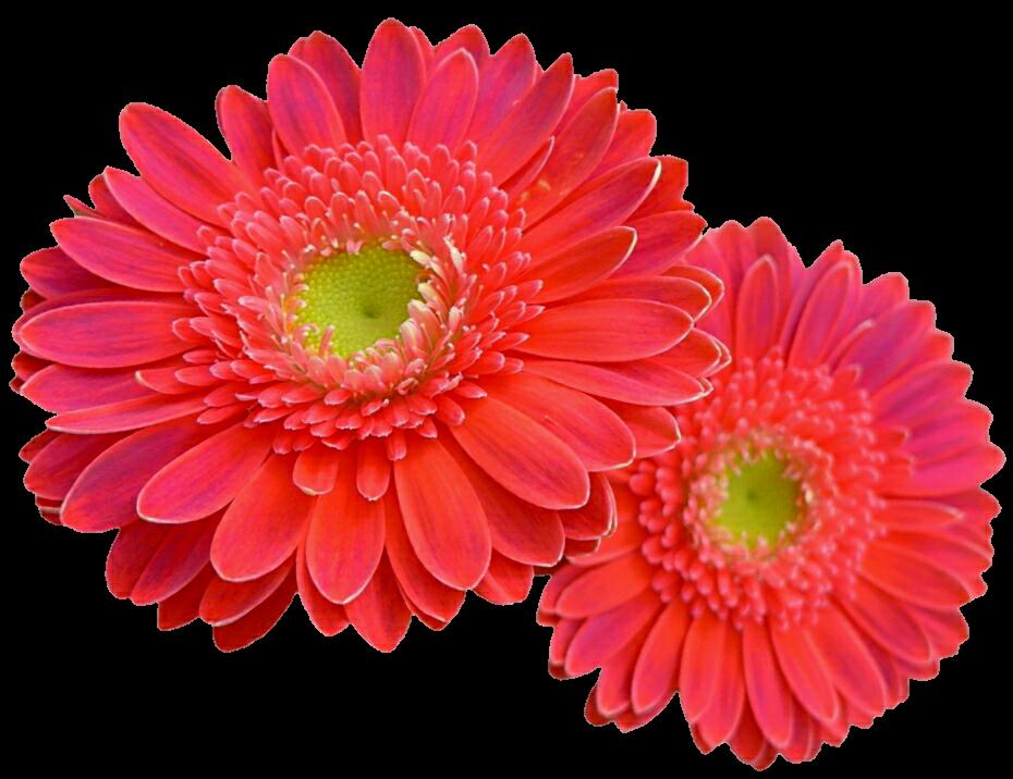 Coral Pink Gerbera Daisies by jeanicebartzen27 on DeviantArt