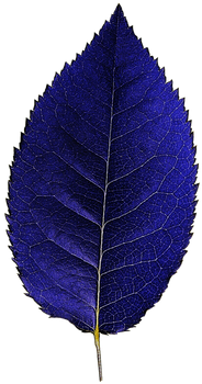 Dark Blue Leaf