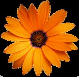 Orange African Daisy by jeanicebartzen27