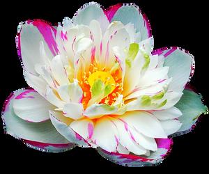 Painted Lotus by jeanicebartzen27