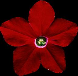 Red Star Petunia by jeanicebartzen27
