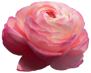 Pink Ranunculus by jeanicebartzen27