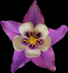 Purple and White Columbine by jeanicebartzen27