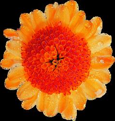 Pom-Pom Daisy by jeanicebartzen27