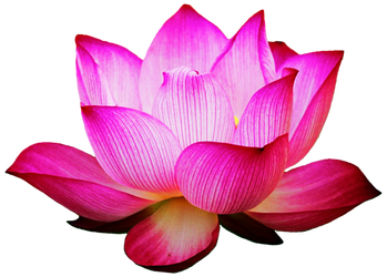 Pink Lotus by jeanicebartzen27
