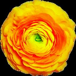 Yellow Ranunculus by jeanicebartzen27