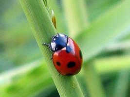 Seven Spot Ladybug 1 by naturepix