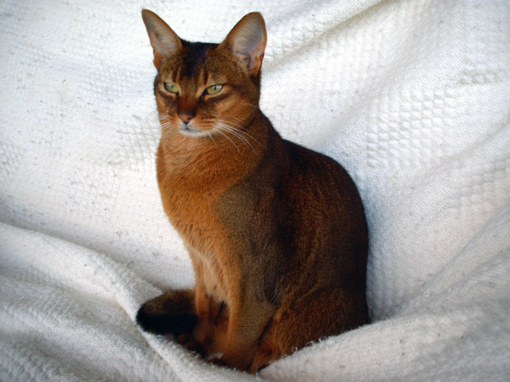Lucy On White - Ruddy Abyssinian Female Cat by vicktorya7 on ...