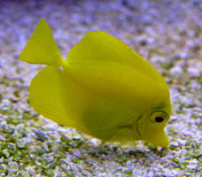 Yellow Tang 1 by WhiteWing-Stock-EtAl