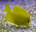 Yellow Tang 1 by WhiteWing-Stock-EtAl