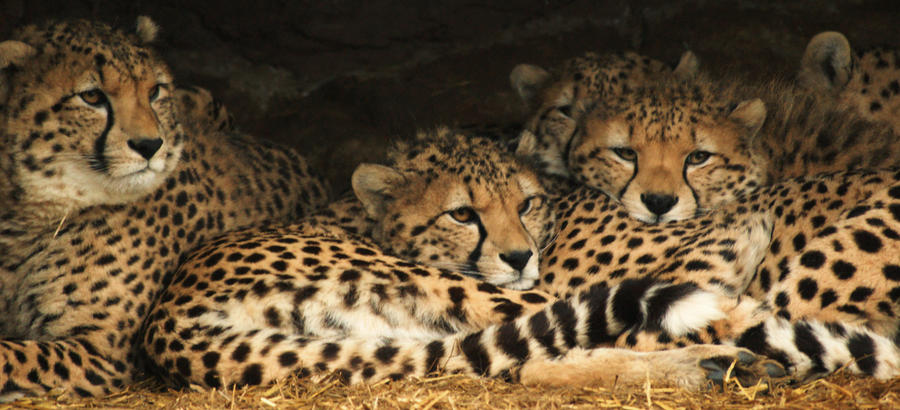 Snuggly Cheetahs by RMEdwards