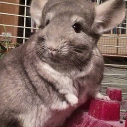 Super Model Chinchilla
