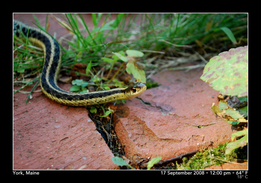 Garter Snake by PhotographyByIsh