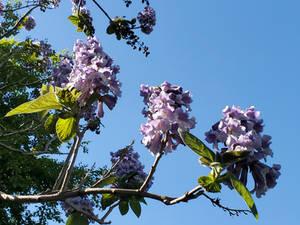 Handful of Paulownia Blossoms