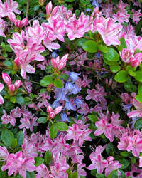 Bluebells Under Boughs of Azaleas