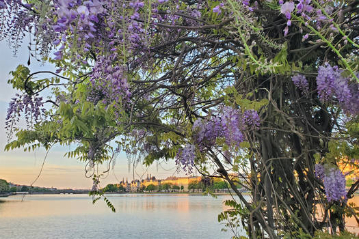 Wisteria Over The Lakes