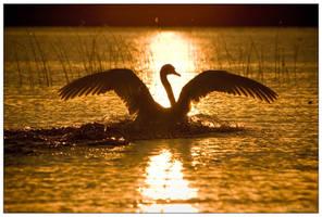 Landing Swan by briedis