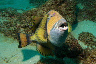 Titan Triggerfish by riba