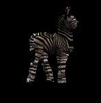 Zebra Foal 1 Png Stock