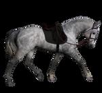 Dapple Grey Horse with English Tack