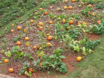 Jefferson's Pumpkins by Red-Lillie