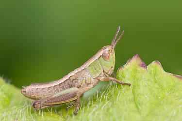 Grasshopper by RaikiriChidori