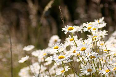 Field of Daisies by RaikiriChidori