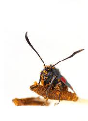 High Key Moth Portrait