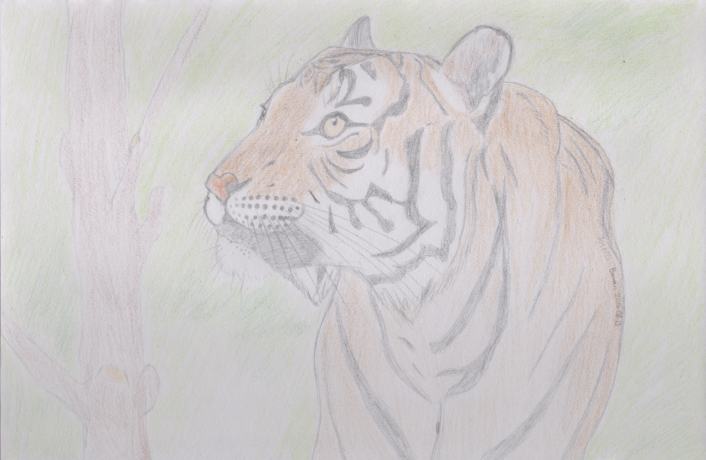malayan tiger drawing - photo #21
